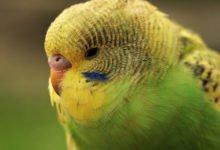 Entzündungen des Kropfes bei Vögeln, werden oft durch Infektionen mit Bakterien oder Pilzen verursacht.