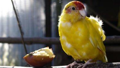 Federkrankheiten bei Vögeln haben oft keine Behandlungsmöglichkeit.