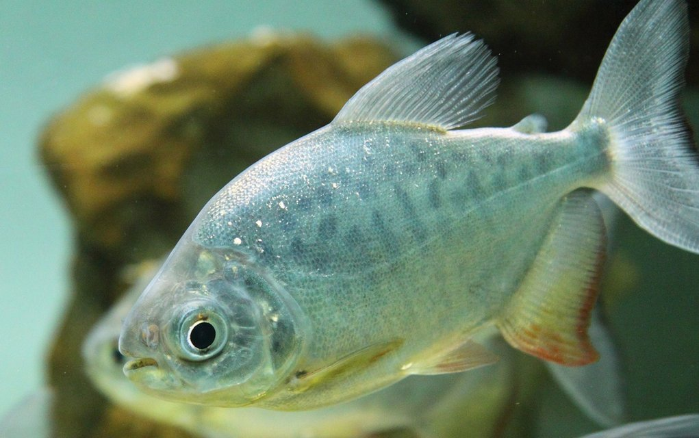 Die Samtkrankheit bei Fischen zu erkennen ist nicht einfach.