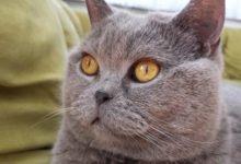 ie Britisch Kurzhaar (abgekürzt: BKH, Englisch: British Shorthair) ist eine Rassekatze