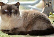 Bei der Britisch Kurzhaar Zucht haben die Kitten Stammbaumpapiere.