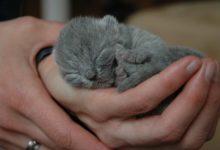 Britisch Kurzhaar Babys sollten aus einer seriösen Zucht stammen.