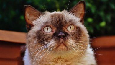 Britisch Kurzhaar aus seriöser Zucht haben typische Merkmale im Aussehen und im Charakter.