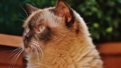 Britisch Kurzhaar Katzen sollten bei einem Züchter gekauft werden.