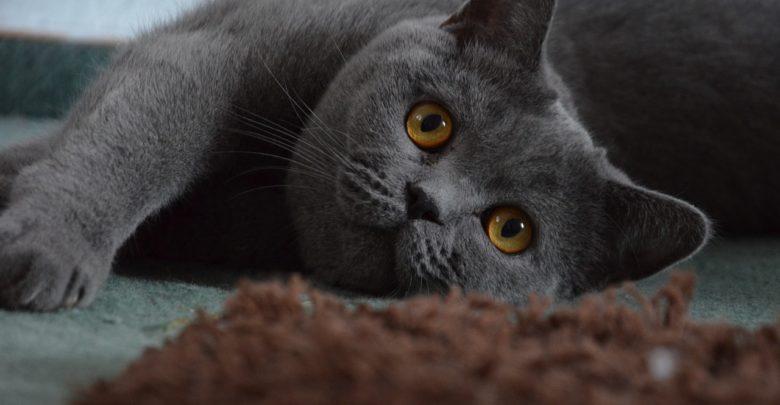 Die Britisch Kurzhaar Katze gibt es in vielen verschiedenen Farben.